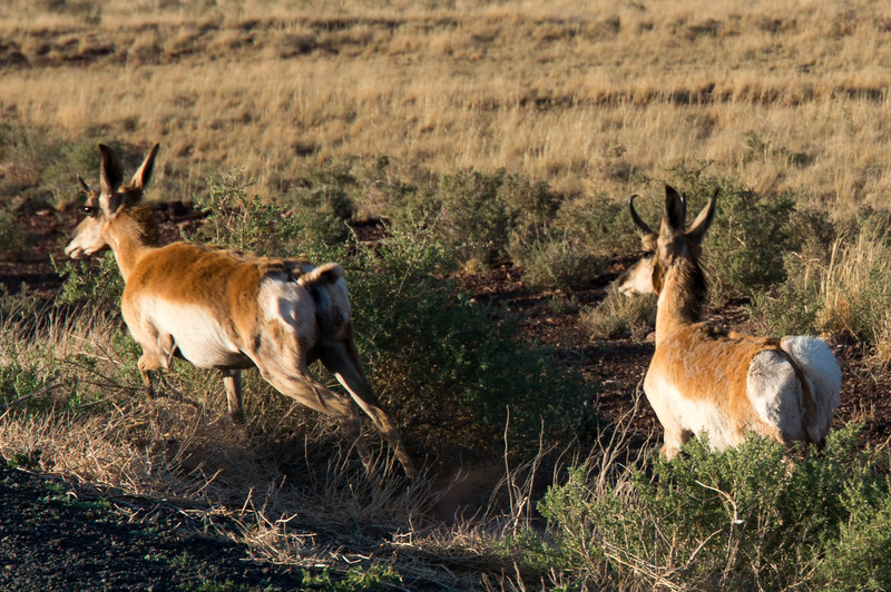 Deer on the side of the road by the Meteor Crater.