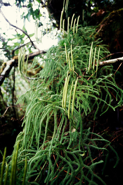 "Lycopodium venustulum (West Maui) This image is licensed under the Creative Commons Attribution-NonCommercial 3.0 Unported license.  You may share and adapt this work, but only with attribution (""by Hank L. Oppenheimer"") and only for non-commercial purposes unless permission is obtained from the copyright-holder (contact webmaster@hear.org)."
