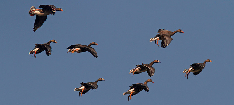 White-fronted Geese, Colusa