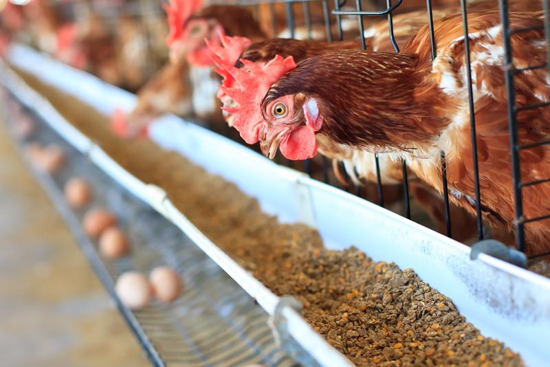 poules-elevage.jpg