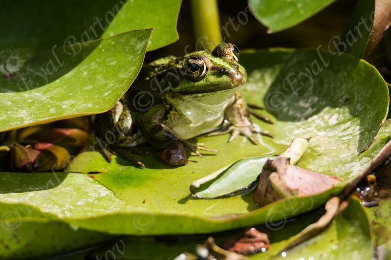European green toad (Bufo viridis)  קרפדה ירוקה
