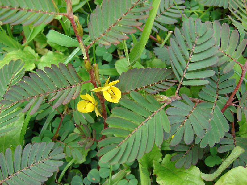 "Leaves and flowers of Chamaechrista nictitansat Kipahulu helicopter landing zone in Haleakala National Park, Maui. (February 24, 2009).   Chamaechrista nictitans (Fabaceae) (""partridge pea"") is not native to Hawaii.PhotoID=FSKS090224-3432Photo by Forest and Kim Starr.  For permission to use image, see their image use policy."