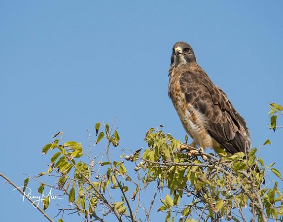Swainson's Hawk?-1.jpg