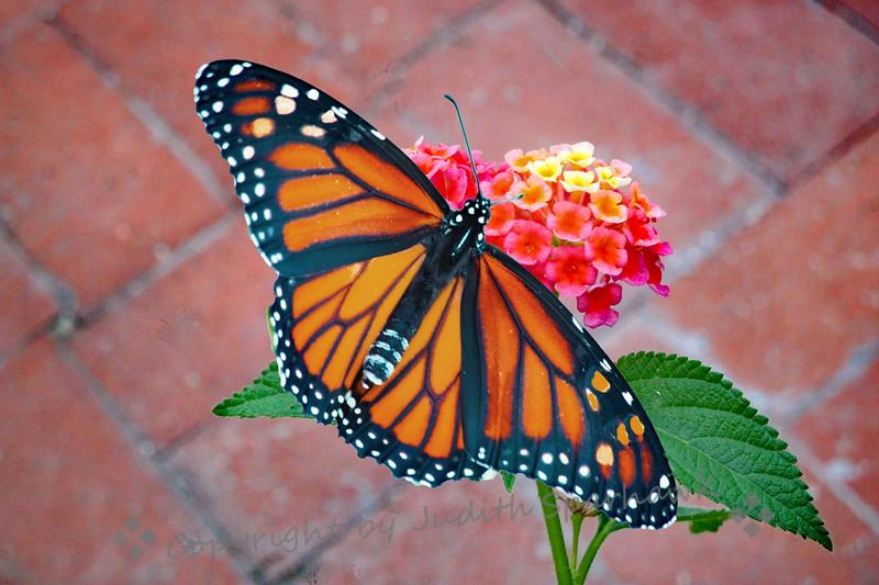 A Monarch Morning - Judith Sparhawk