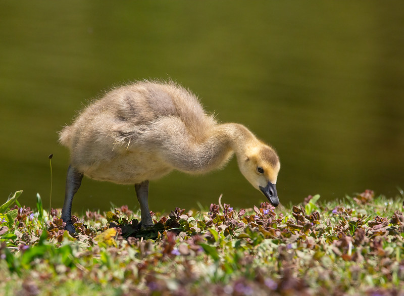 Sweetness of a gosling!
