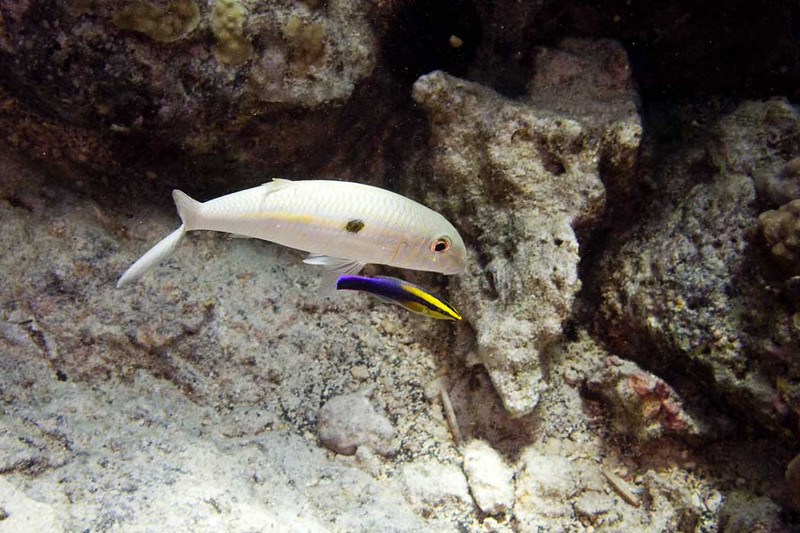 Goatfish-and-Cleaner.jpg