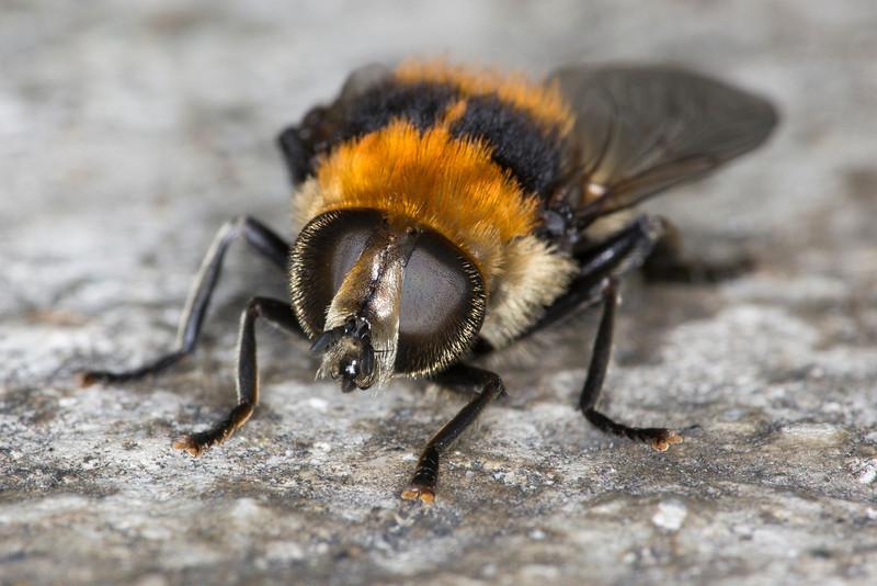 Bumble Bee Macro-7353.JPG