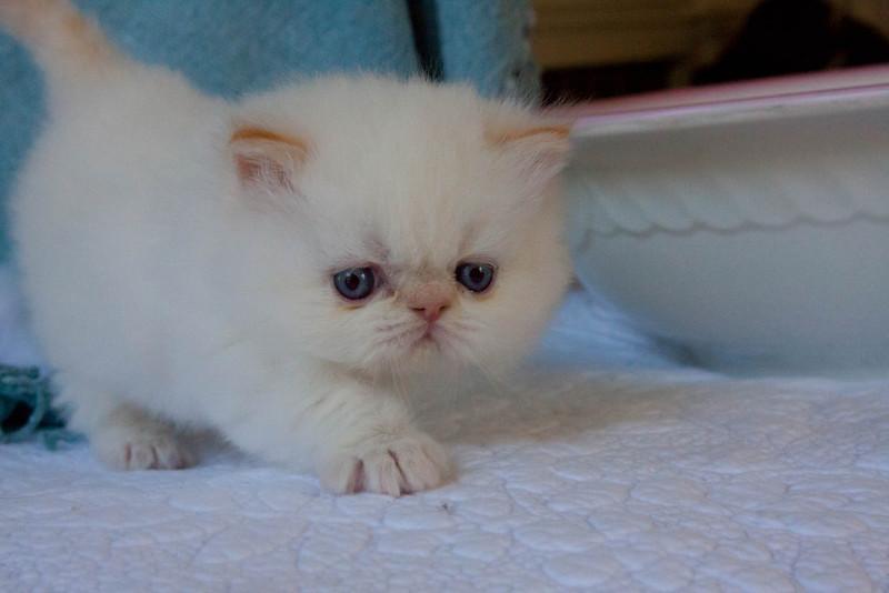 Himi_Kittens_Nov30-8057.jpg