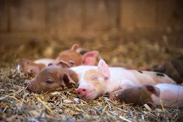 06-09-19-baby pigs