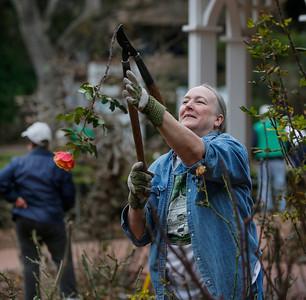 Volunteers prune San Mateo rose garden