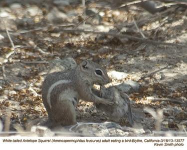WhiteTailedAntelopeSquirrel13577.jpg