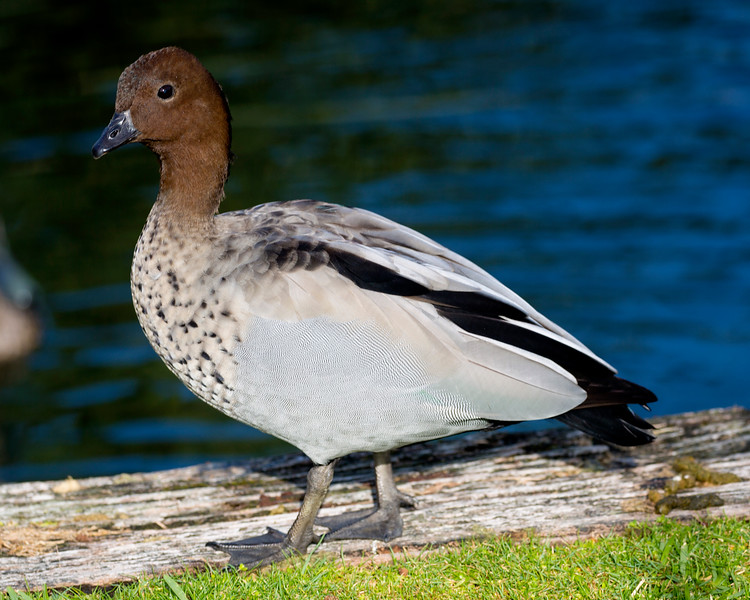 Australian Wood Duck.