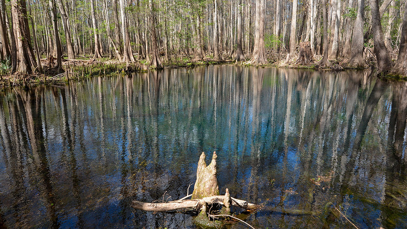 Deep blue spring pool surrounded by cypress trees and cypress knees in the foreground