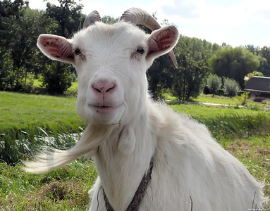Goat with goatee