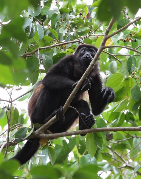 costa_rica_howler_monkey_13.JPG