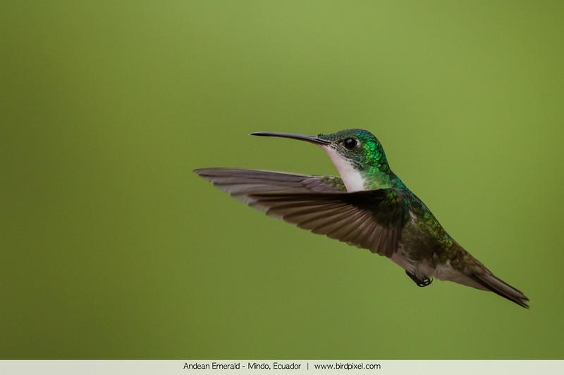 Andean Emerald - Mindo, Ecuador