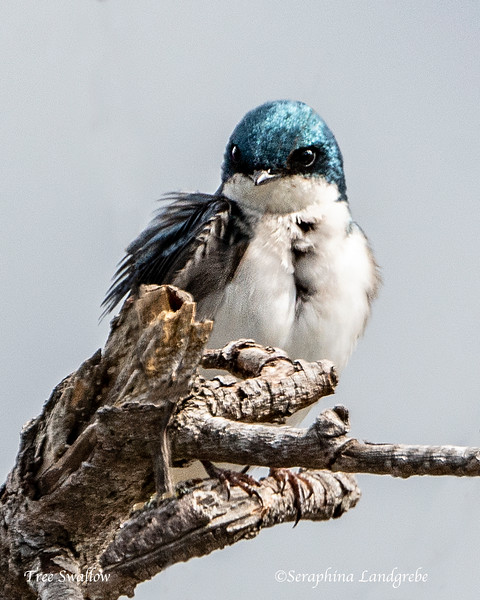 _DSC9911Tree Swallow.jpg