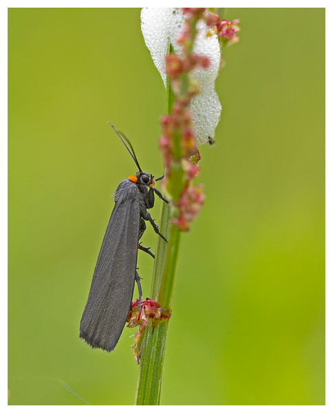 Red-necked Footman Moth