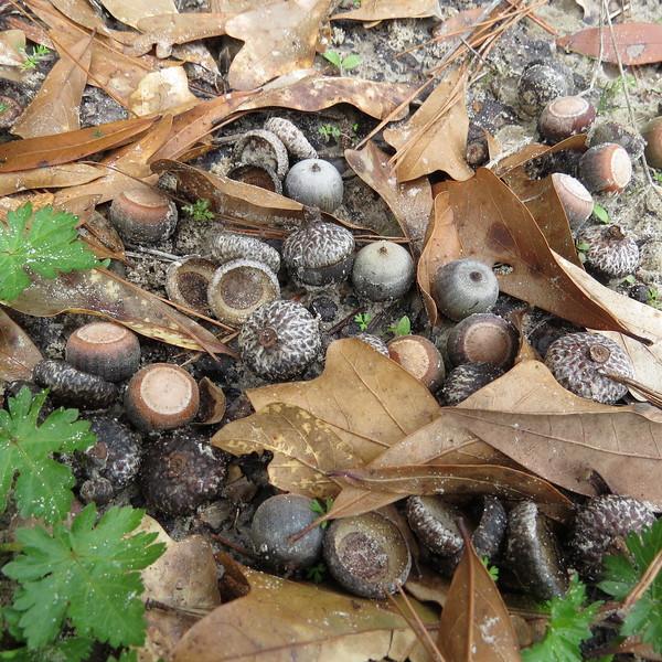 acorns and acorn caps.JPG