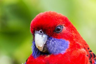 Cockatoos-Parrots