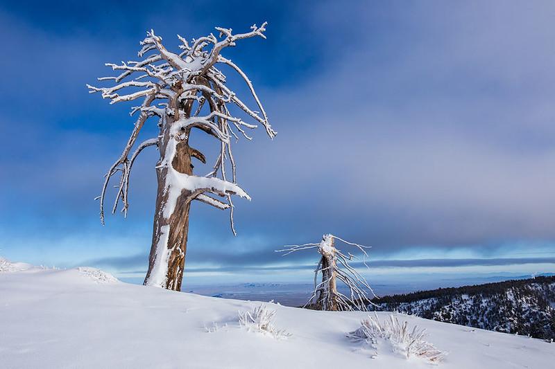 Limber Pine Winter Snow San Gabriel Mountains.jpg