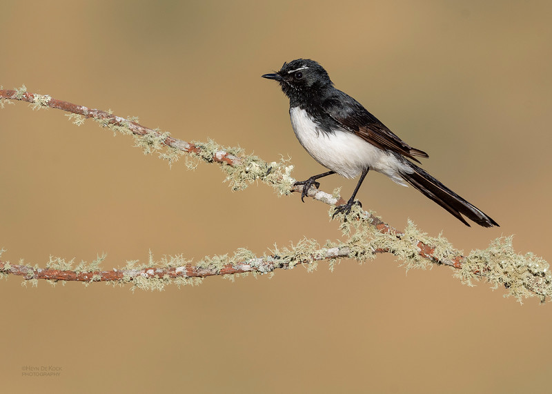 Willie Wagtail, Glenrowan, VIC Oct 2018-1.jpg