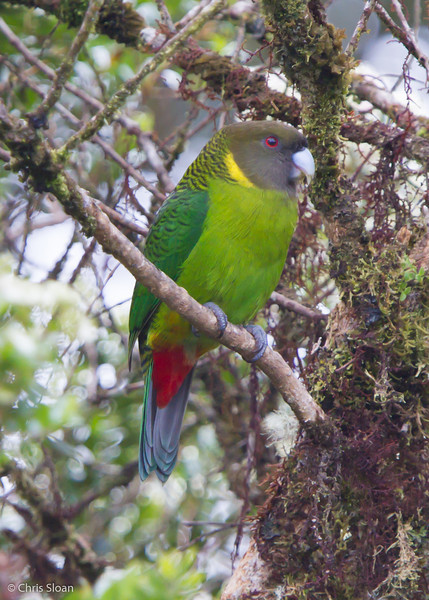 Brehm's Tiger-Parrot male at Kumul Lodge, Papua New Guinea (09-30-2013) 803.jpg