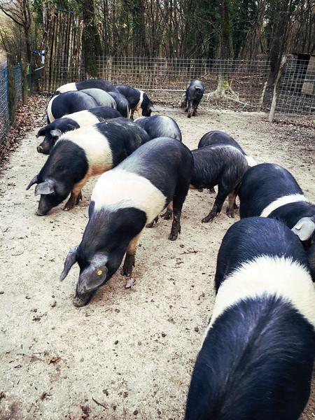 umbria roccafiore pigs.jpg