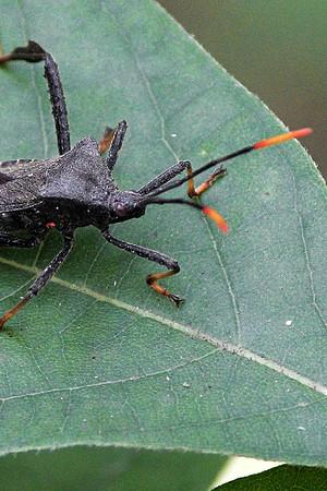 Leaf-footed Bugs