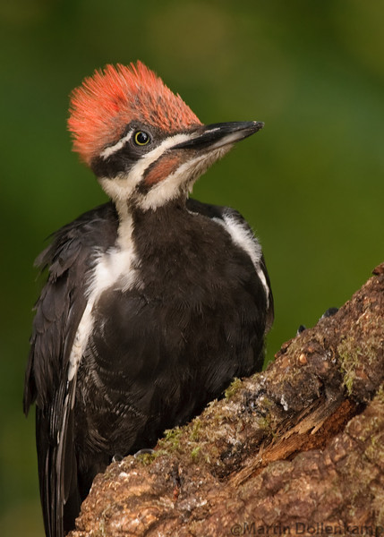 Pileated Woodpecker, fledgling male, there crown feathers are a bit more pinkish than the adults and the eyes are dark blue that slowly turn to yellow through the summer.