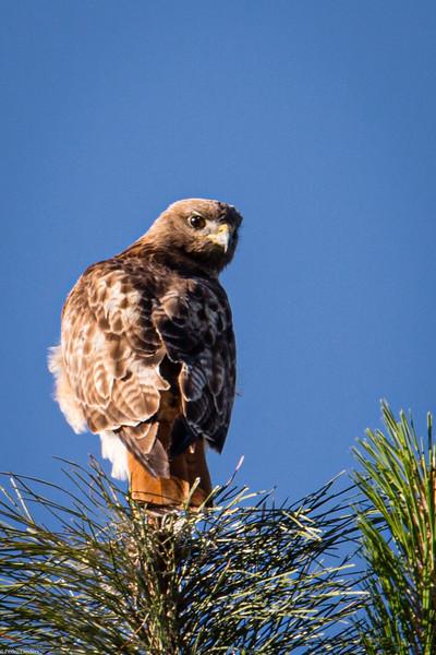 Red-Tailed Hawk Light Morph.jpg