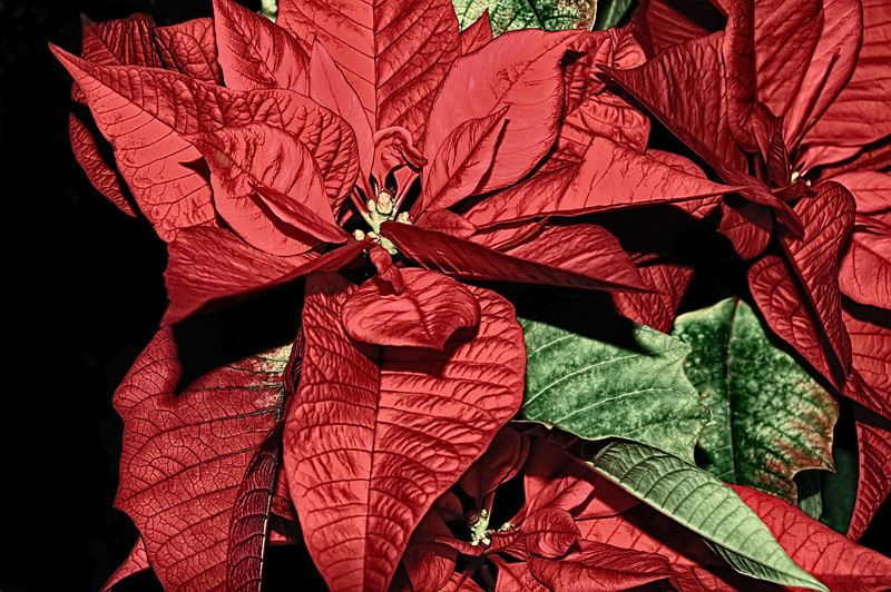 03 Dec 12.  I began work on this image last January about the time we were thinking that if I didn't do something quickly, the plant would be too far past its prime to be worth shooting. Being the time of year that it was the plant was obviously something with a Christmas theme, and what better says Christmas than a poinsettia. This was to be a desktop effort with the idea that I wanted to make the living plant look like a fake silk one. Kind of a 180 from when I was a kid and the fake flowers were so bad you didn't want them in your house, now they are so good that they often look better then the real thing and never need watering, even if dusting is a regular requirement. I think I did a pretty good job of achieving my original goal, but it never felt sharable for some reason. Today I decided to see if I could make it something I'd like to share. After looking it over for a bit, I decided that if I could bring out some of the detail in the petals it might render it presentable. All I did was apply a bit of detail extraction which provided just the kick it needed to meet that goal. After the detail enhancement it was sorely obvious that it need a LOT of cleanup so after roughly an hour of fixing hundreds of little character flaws, we arrived at the image you are viewing. Nikon D300s; 18 - 200; ISO 200; 1/60 sec @ f /11 with fill flash on a tripod.