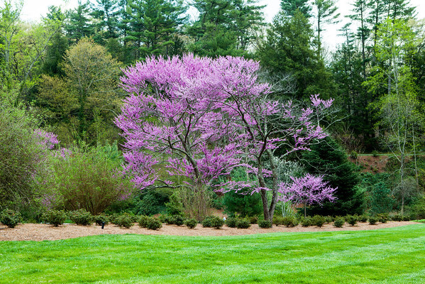Spring and Redbuds at the Biltmore