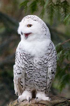 Wildlife Photography - Images of the Snowy Owl