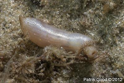 Peanut Worms
