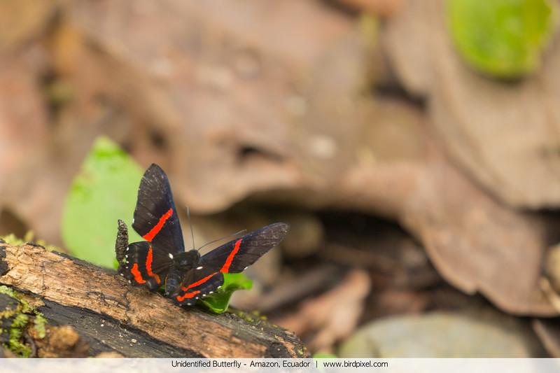 Unidentified Butterfly - Amazon, Ecuador