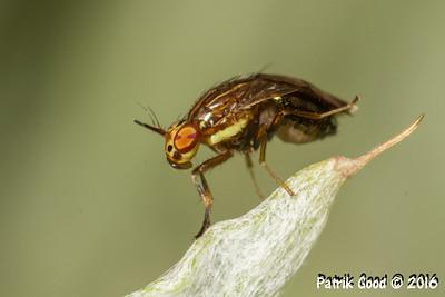 Hunchback Lauxaniid Fly