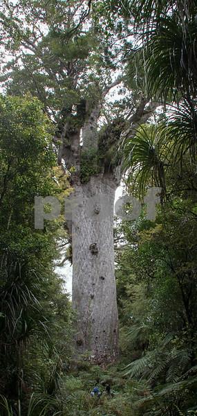 nz Kauri Tree_01.jpg