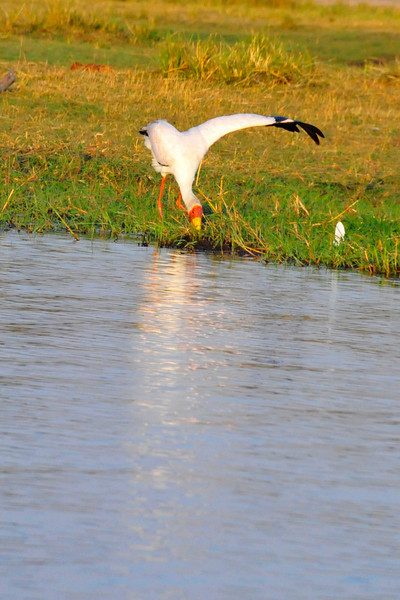 _D038438 Yellow-billed Stork Extending Wing to Balance Body Weight at Water's Edge