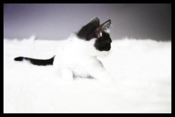Haugen Kittens