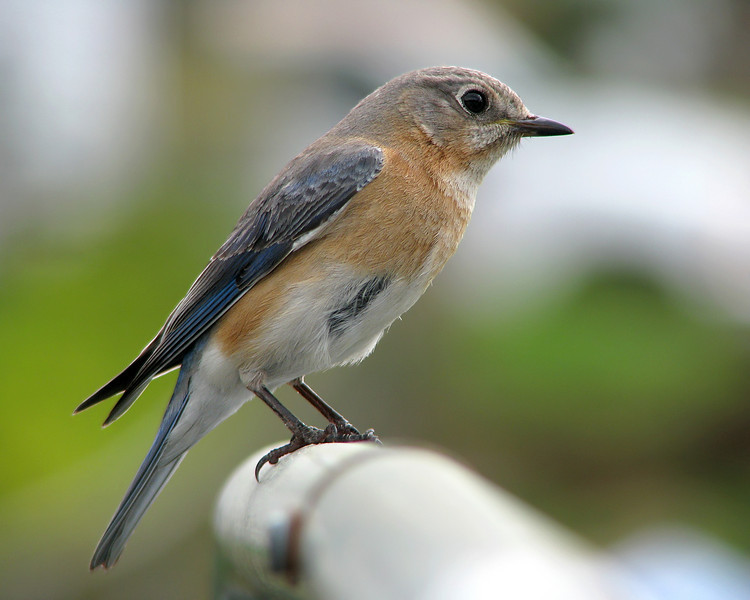 bluebird_6210.jpg