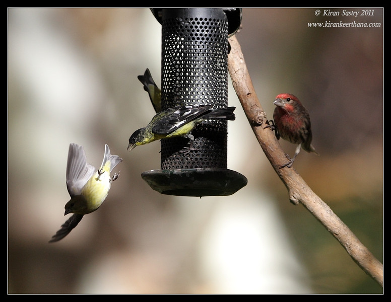 Mixed flock of finches and goldfinches at the Madera Kubo feeders, Madera Canyon, Arizona, November 2011