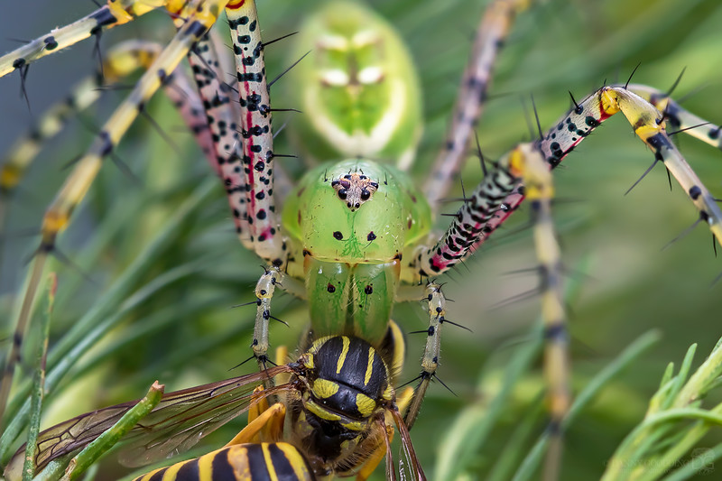 Green lynx spider with a southern yellowjacket for lunch
