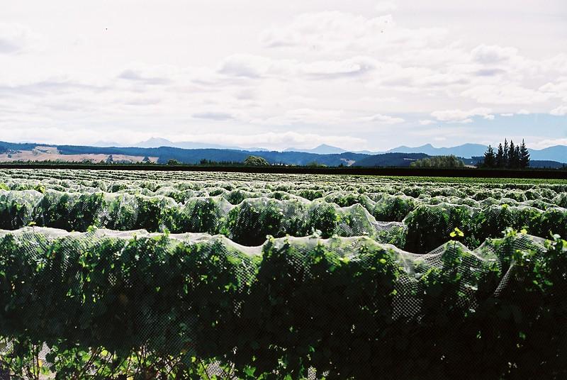 vineyard_1813551287_o.jpg