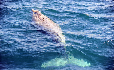 Eastern Pacific Gray Whale