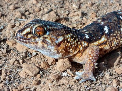 Namib Giant Ground Gecko (Chrondrodactylus angulifer)