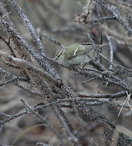 Kashmirinuunilintu (Phylloscopus humei)