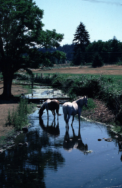 Horses watering in a stream create water quality concerns for salmon and other instream uses.
