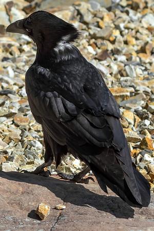 Chihuahuan Ravens