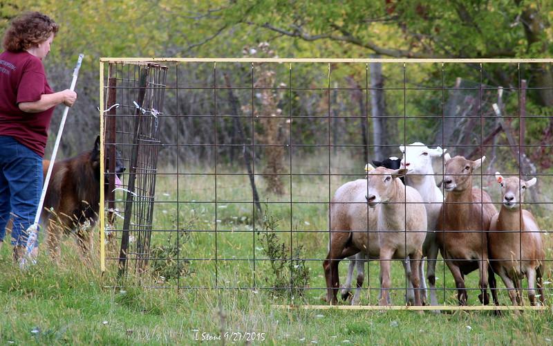 2015.9.27 Herding at Bonnies (36).JPG